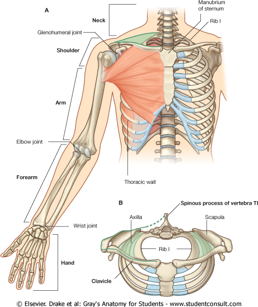 CLINICAL ANATOMY- UPPER LIMB